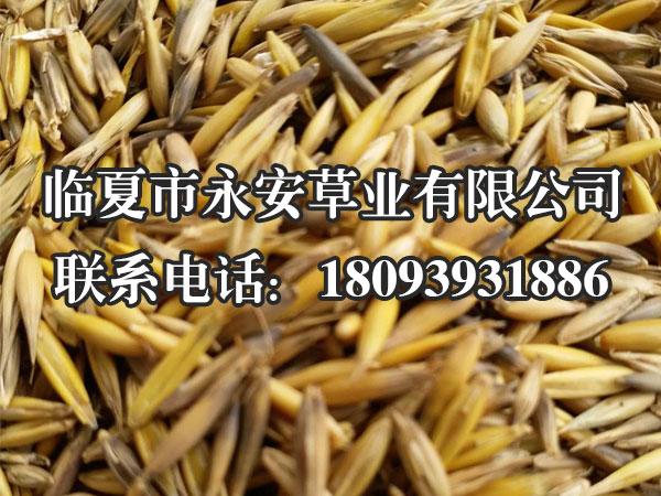 燕麦草种子