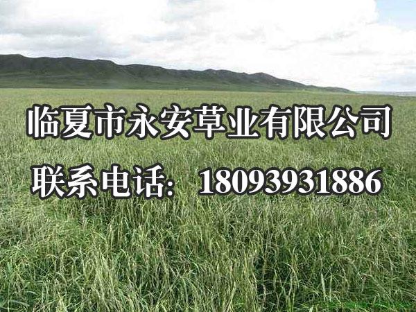 披碱草种子价格
