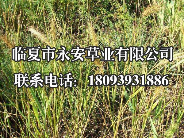老芒麦种植