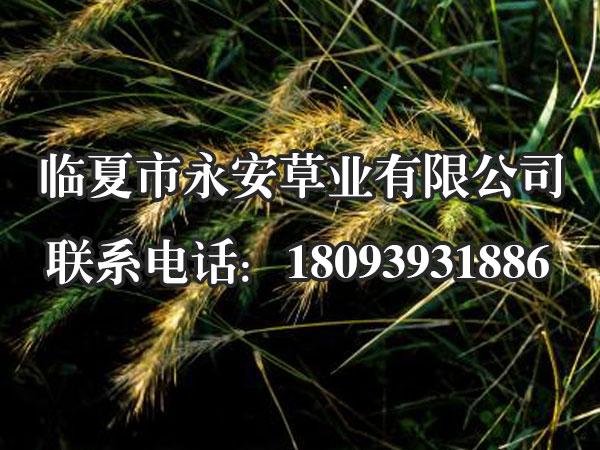 老芒麦的价值还体现在其粗蛋白含量较高