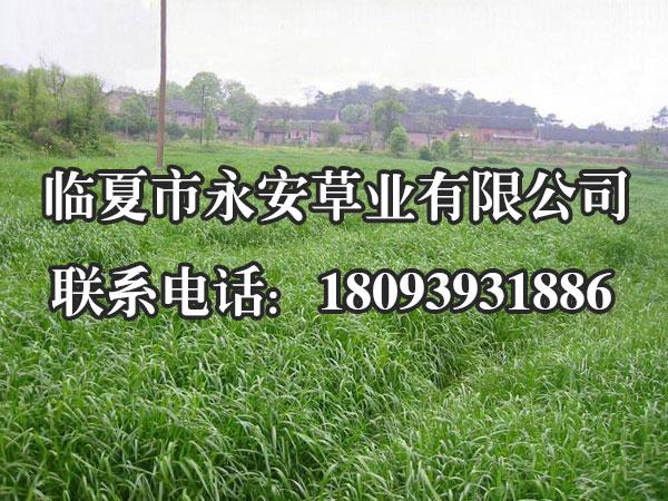 黑麦草是我们北方地区常用的冬季耐寒草坪