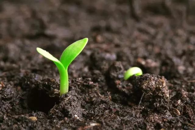 披碱草种子批发厂家告诉你提高种子发芽率的方法