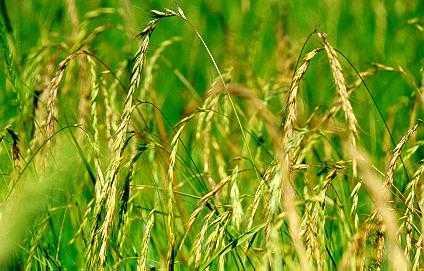 披碱草适合在什么地方种植