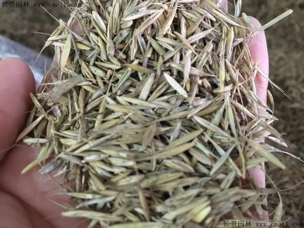 披碱草种子