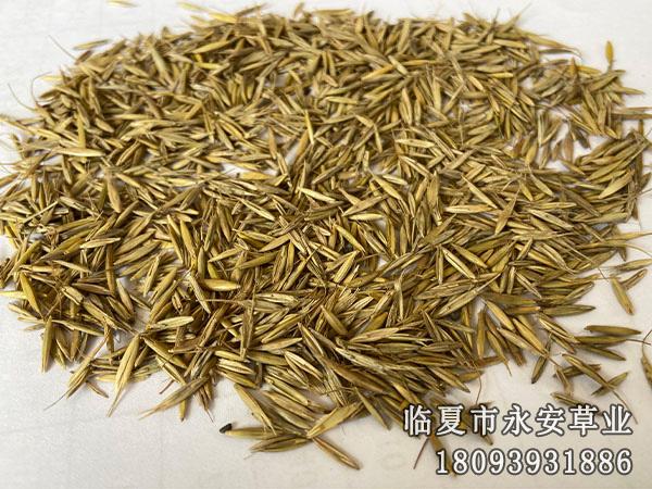 多叶老芒麦种子