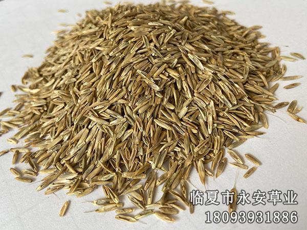 邦德一年生黑麦草