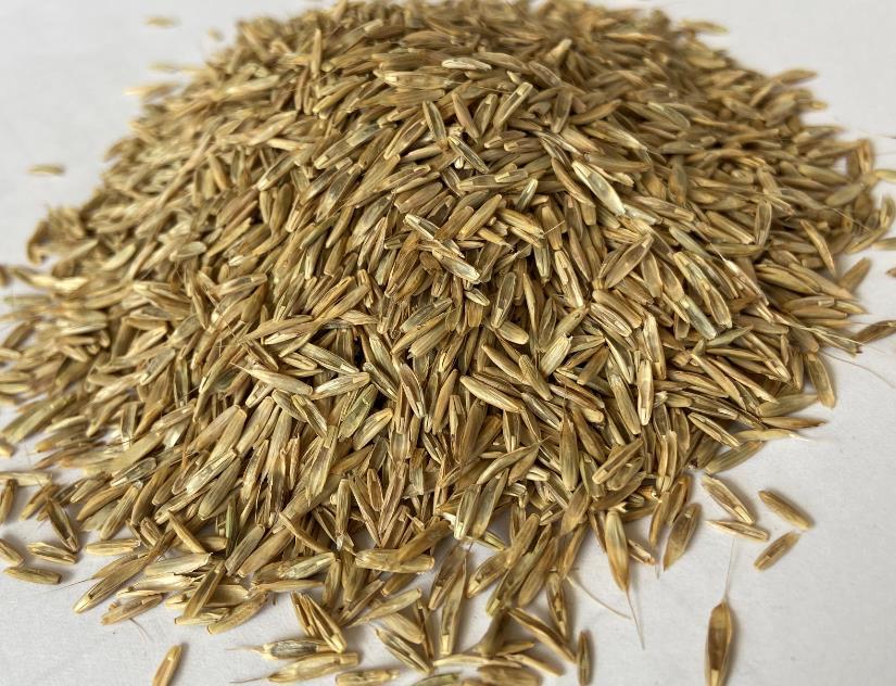 老芒麦生长环境