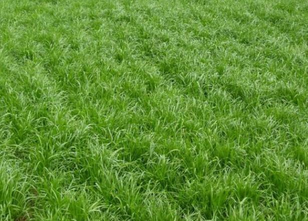 碱草与披碱草