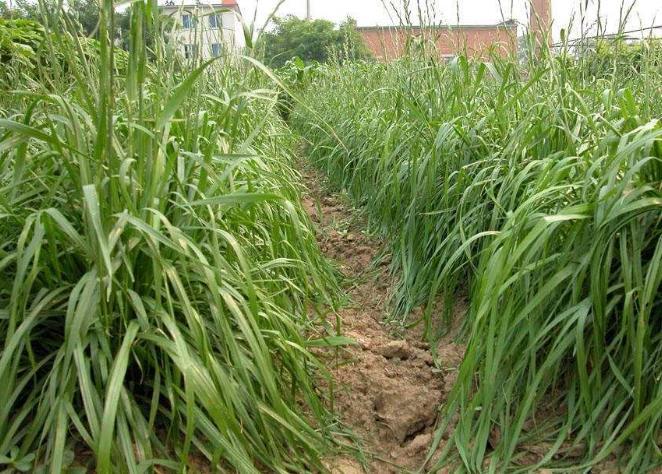 老芒麦如何栽培