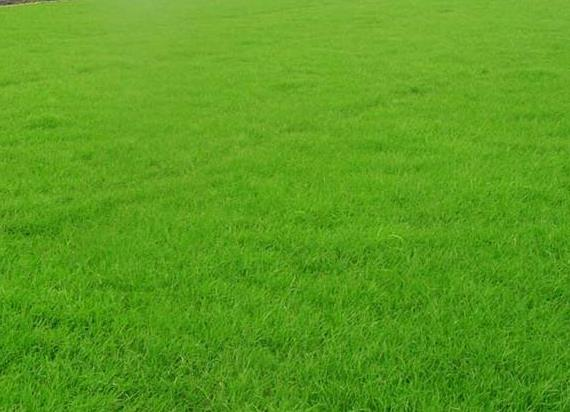 草坪型黑麦草