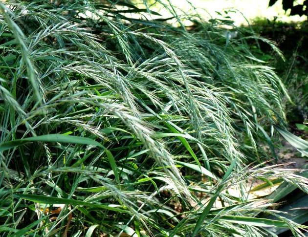 垂穗披碱草种植要求