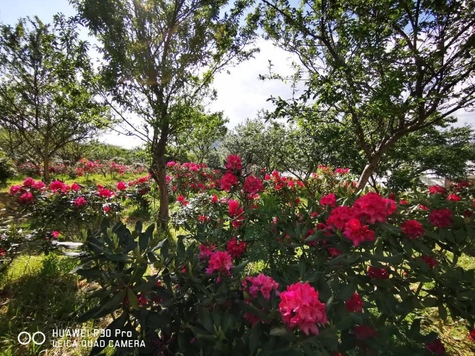 昆明高山杜鹃花园