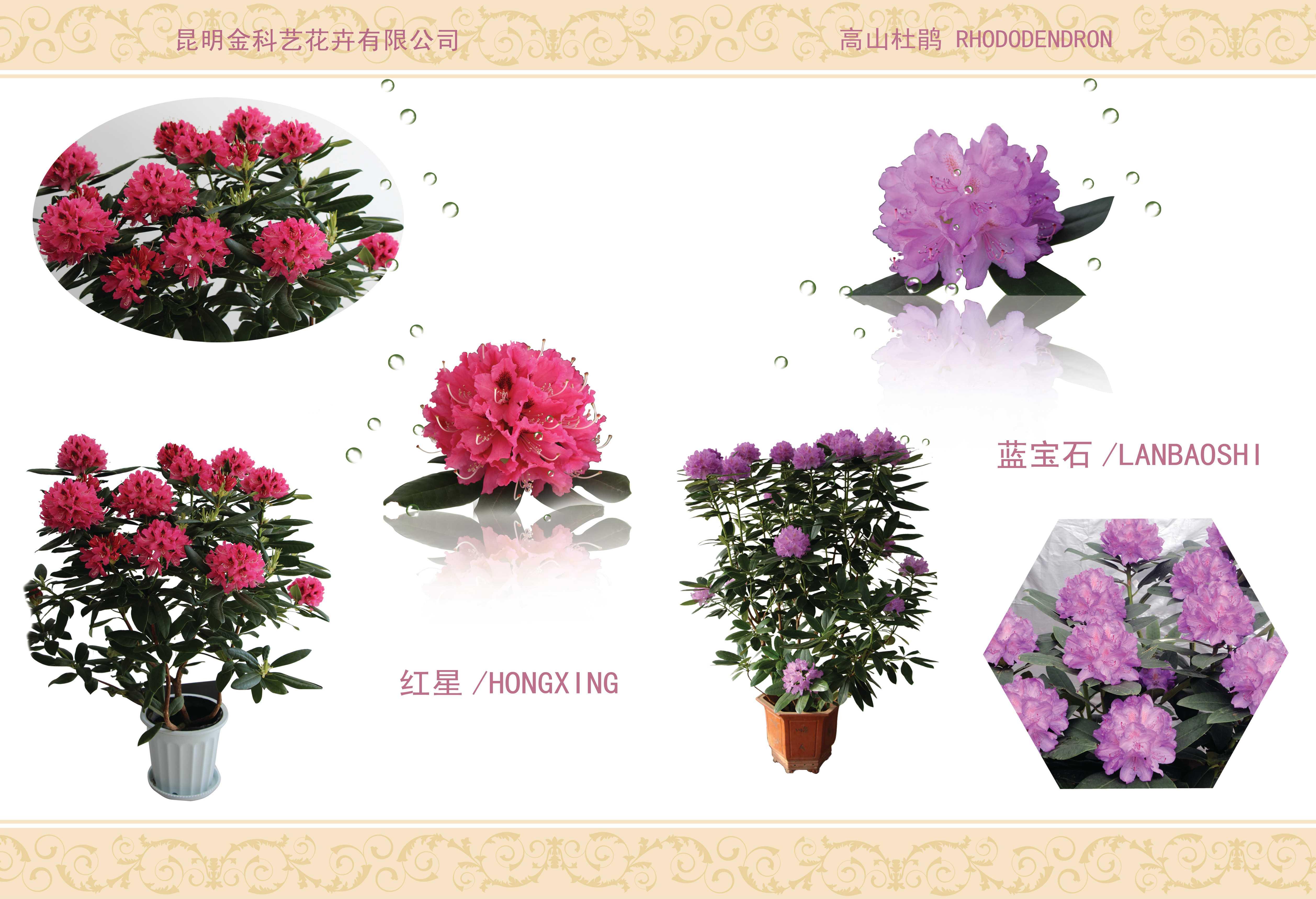 昆明高山杜鹃盆花
