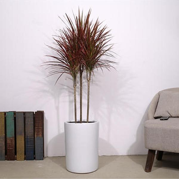 植物租摆-千年木