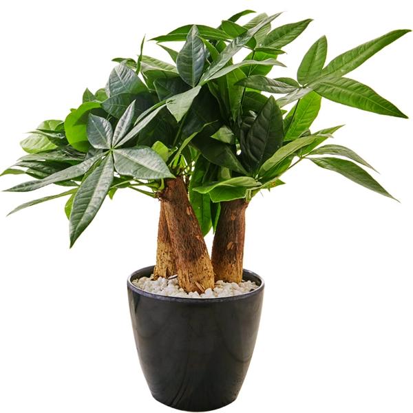 植物租赁-小发财树