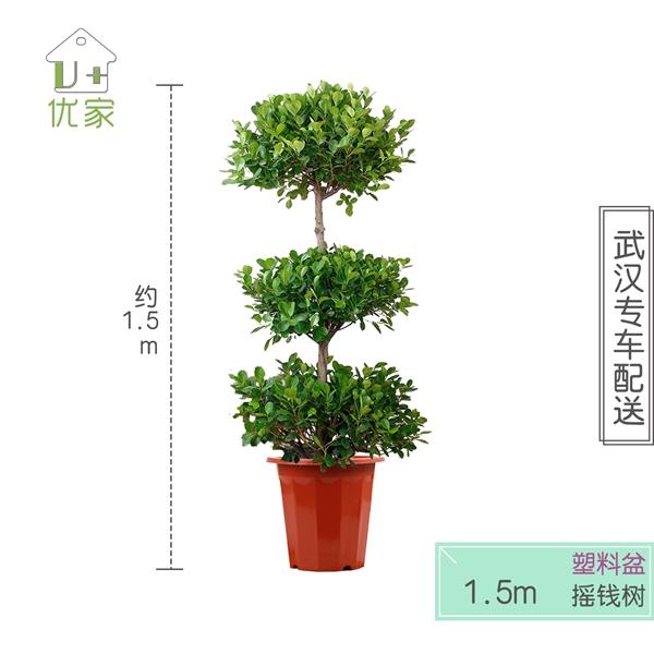 植物租赁-榕树