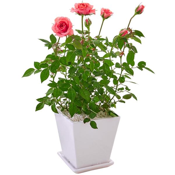 花卉租赁-玫瑰