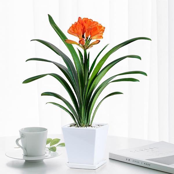 花卉租摆-君子兰