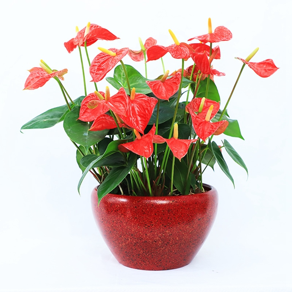 花卉租摆-红掌