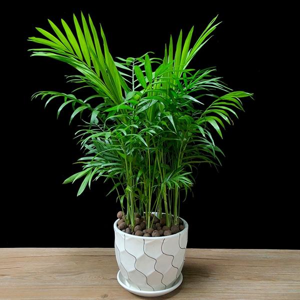 植物租摆-富贵椰子树