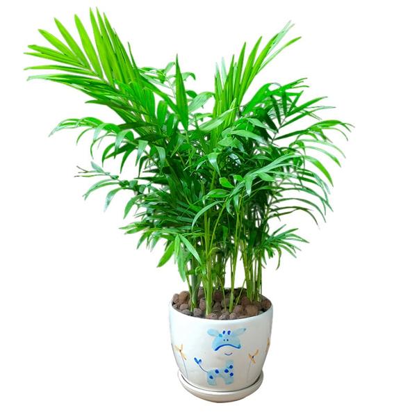 植物租摆-富贵椰子盆景