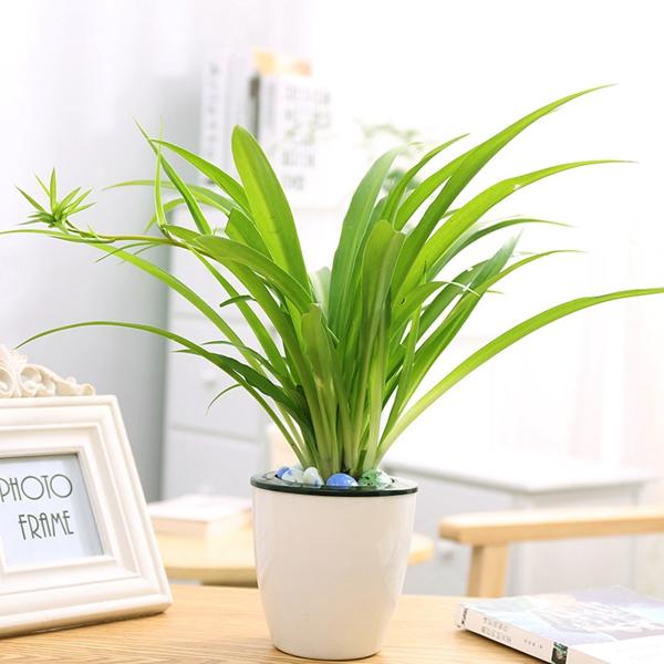 植物租摆-吊兰