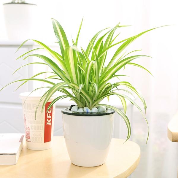 植物租赁-吊兰