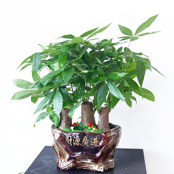 盆景植物租赁-发财树盆景