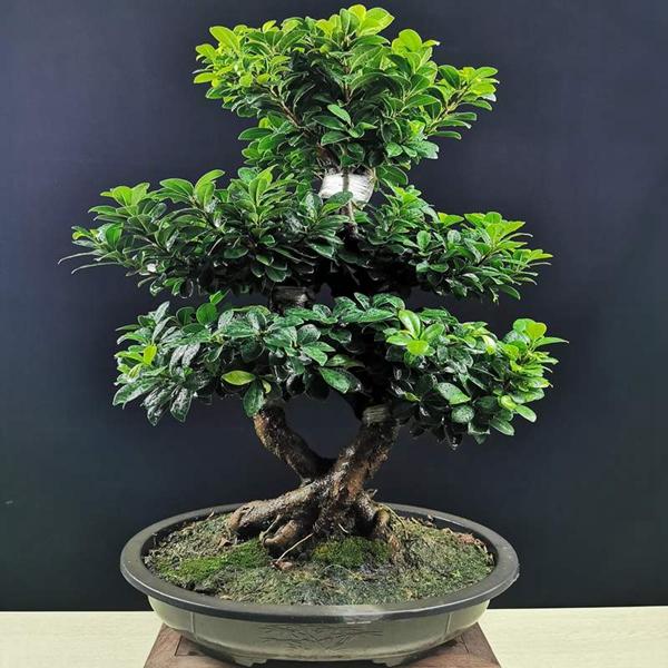 盆景植物租赁-榕树