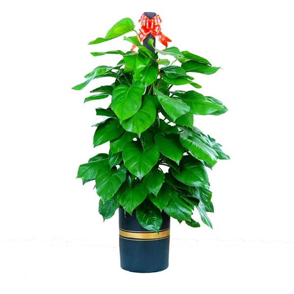 植物租赁-棒子绿萝