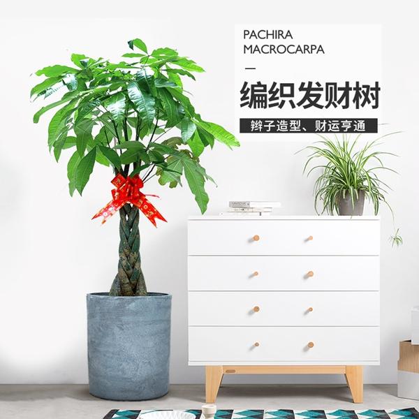 植物租赁-辫子发财树