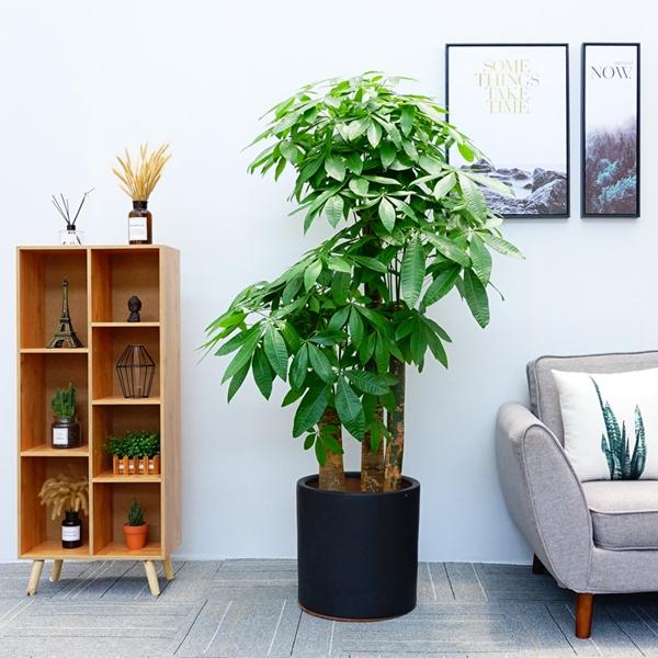 植物租摆-步步高发财树