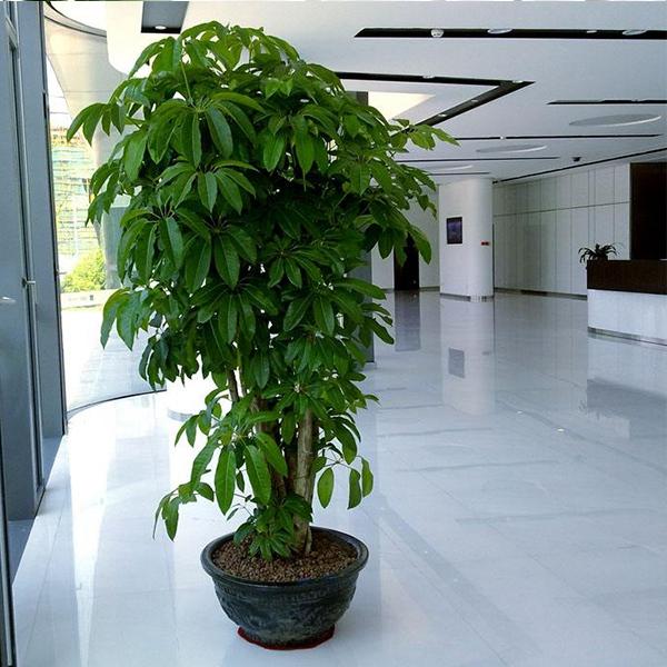 植物租摆-大叶伞