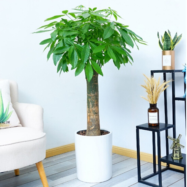 植物租摆-发财树大