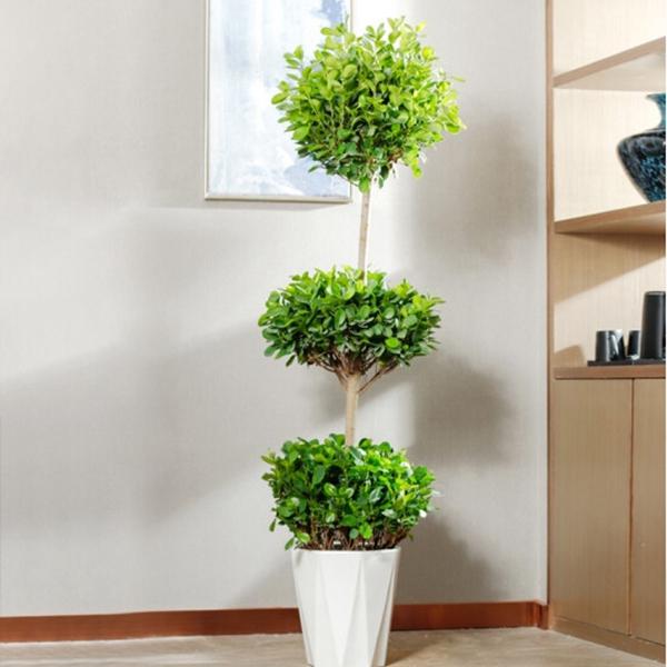 花卉租赁-三层榕树