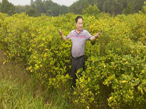 黄栀子种植基地