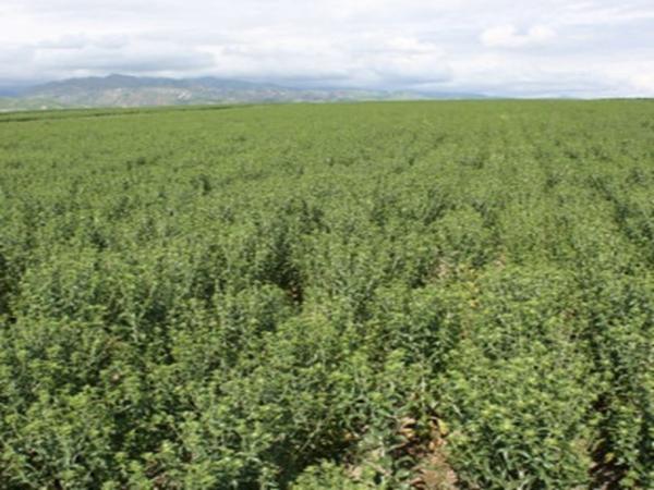 川红花种植基地