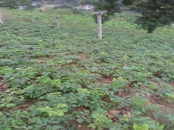 柴胡种植基地