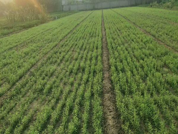 黄芩种植基地