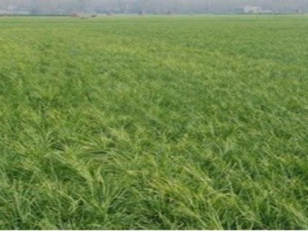 麦冬种植基地