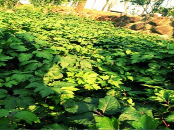 川穹种植基地