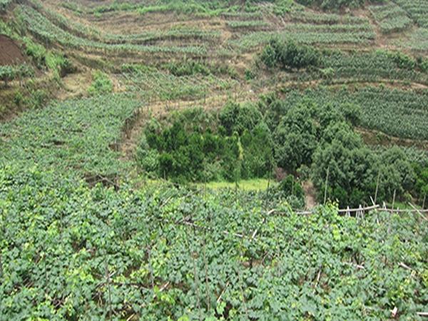 黄柏种植基地