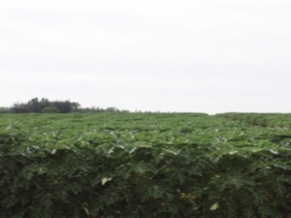 木瓜种植基地