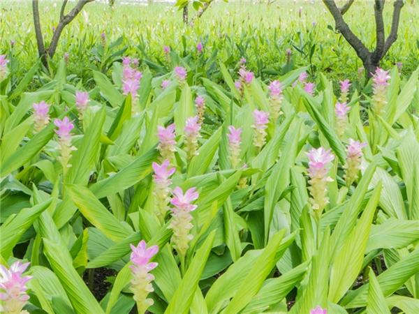 姜黄种植基地