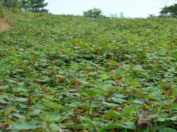 鱼腥草种植基地