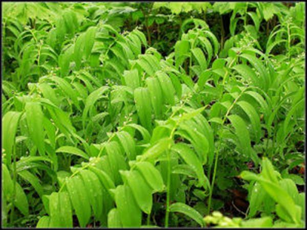 玉竹种植基地
