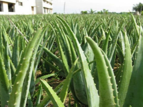 芦荟种植基地