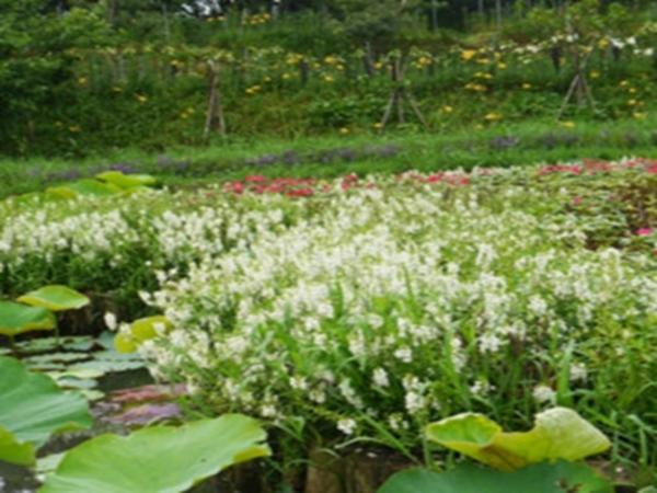 凤仙花种植基地