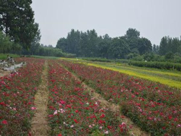 月季花种植基地