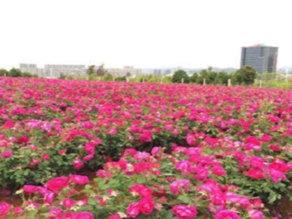 玫瑰花种植基地